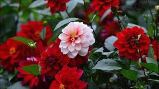 top 10 dahlia flowers hd wallpapers in 1080p