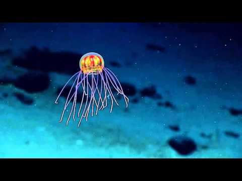 Jellyfish: 2016 Deepwater Exploration of the Marianas