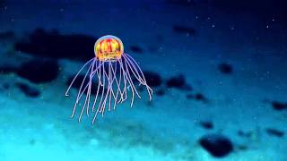 Alien Looking Jellyfish