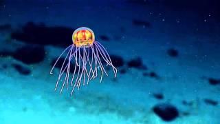 凄いのいた!電球内蔵型エイリアンみたいなことになってる発光クラゲの新種が発見される(マリアナ海溝)