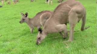 Australia, kangury, Nowak i Potomek.