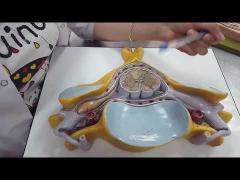 Medulla Spinalis Anatomisi
