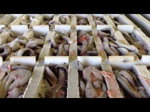 Frozen Hagfish (Slime Eel) Still Alive!