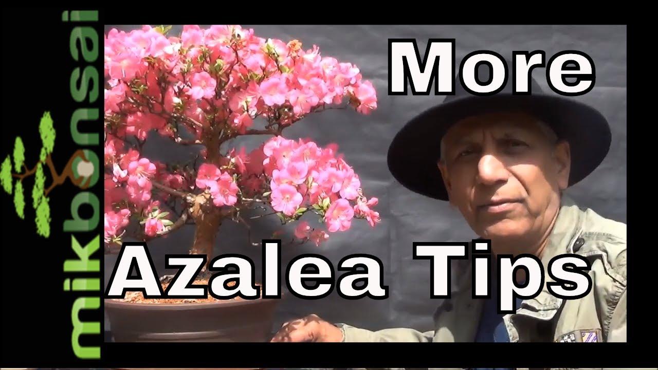 More Satsuki Azalea Bonsai Azalea Bonsai Tree Care Tips Youtube