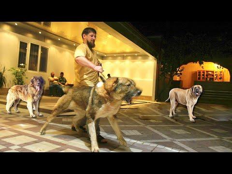 Какие собаки охраняют дом Рамзана Кадырова, и его семью.