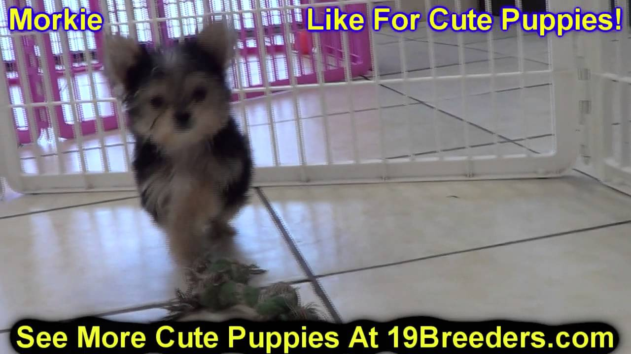 Morkie Puppies For Sale In Duluth Minnesota County Mn