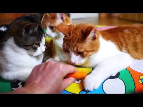 Cats with a cattitude 4k UHD 🐈 🐱 Strut Funk - Dougie Wood (No copyright music) talking cats