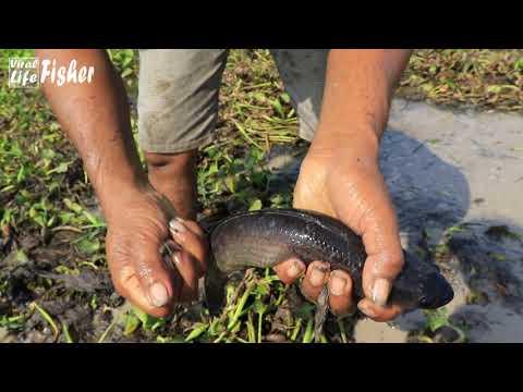 Best Finding Giant Snakehead Fish In Secret Mud Water 2021 In Dry Season