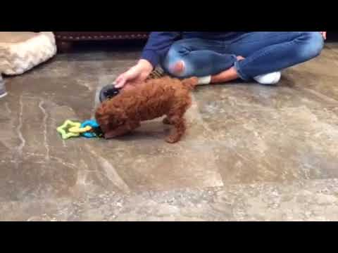 Snickers - toy poodle