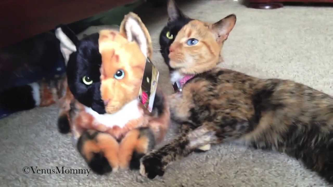 Venus Loves Her New GUND Plush Of Herself YouTube - Venus two faced cat