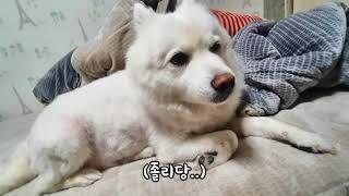 아랑이의 vlog (반려견 스피츠)