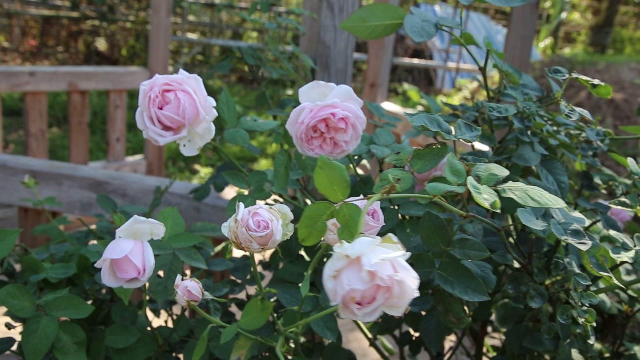 Kết quả hình ảnh cho cây hồng vân khôi