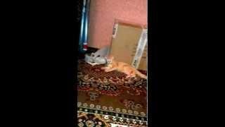 кошка со скотчем