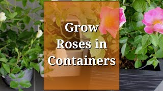 Grow Roses in Containers