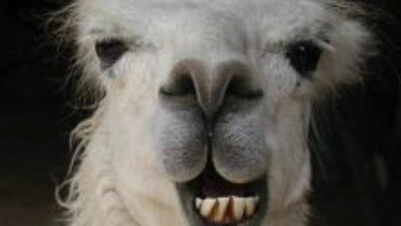 Scherzo No1 Drunken Llama Op 2 Youtube