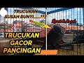 Trucukan Gacor Pancingan Bagi Trucuk Susah Bunyi  Mp3 - Mp4 Download