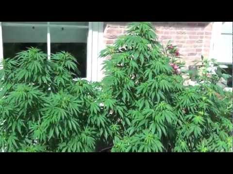 White Widow Outdoor grow Holland