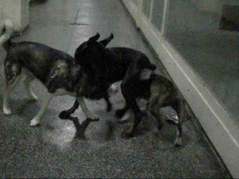 Bull terrier vs husky