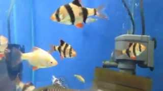 видео Боция клоун: содержание, совместимость, советы по уходу