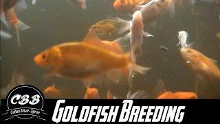 Goldfish breeding - Sex Dungeon Update