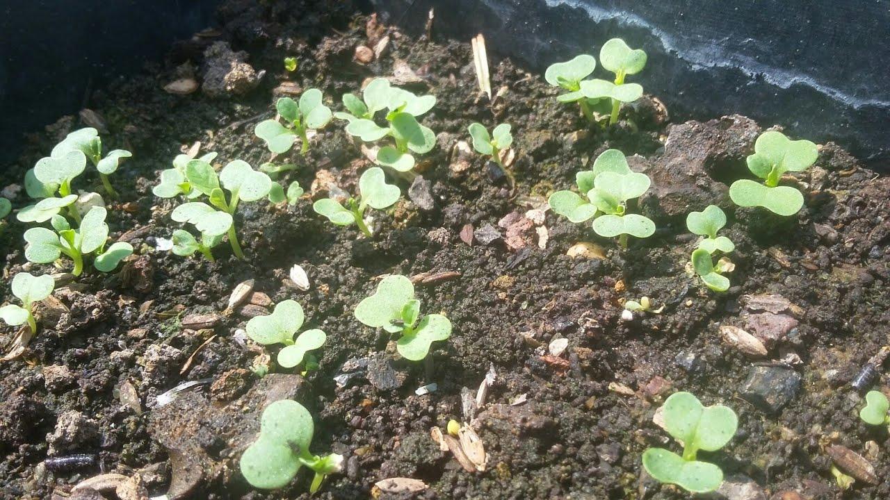 Hướng dẫn gieo hạt Cải Thìa , cải con cứng cáp lá xanh mơn mởn | Khoa Hien 183