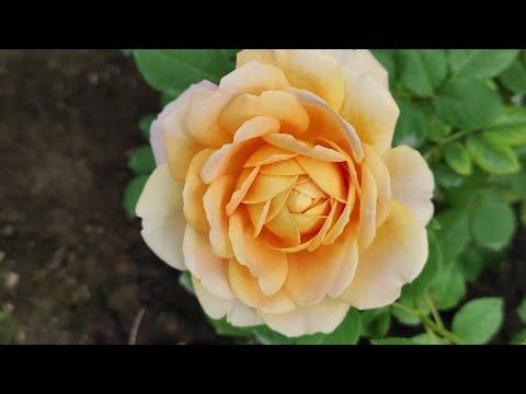 Саженцы роз от