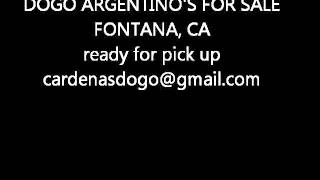 Dogo Argentino Puppies For Sale Fontana, Ca. Dogos Dogs For Sale, Dogos Dogs For Sale