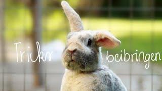Kaninchen Tricks beibringen? I Kaninchentricks: Pfötchen,Drehen, Hinlegen, auf den Schoß springen...