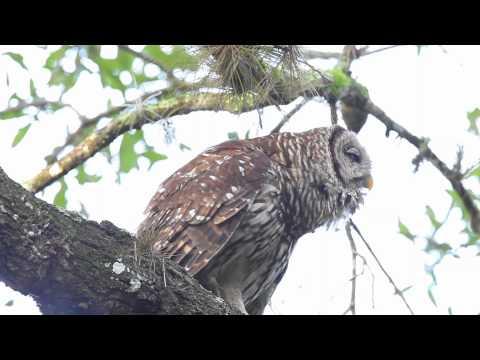 Barred Owl Hooting