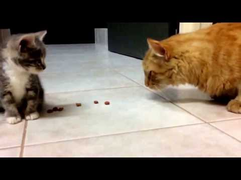 Innocent kitten meets Tiger the big grumpy cat!