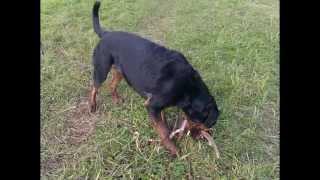 Rottweiler Labrador Cross Baro