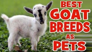 5 Best Goat Breeds to Keep as Pets