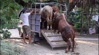 Cận cảnh lên bò cho khách. Bò giống nuôi tại ba tri bến tre. LH: 0934764948