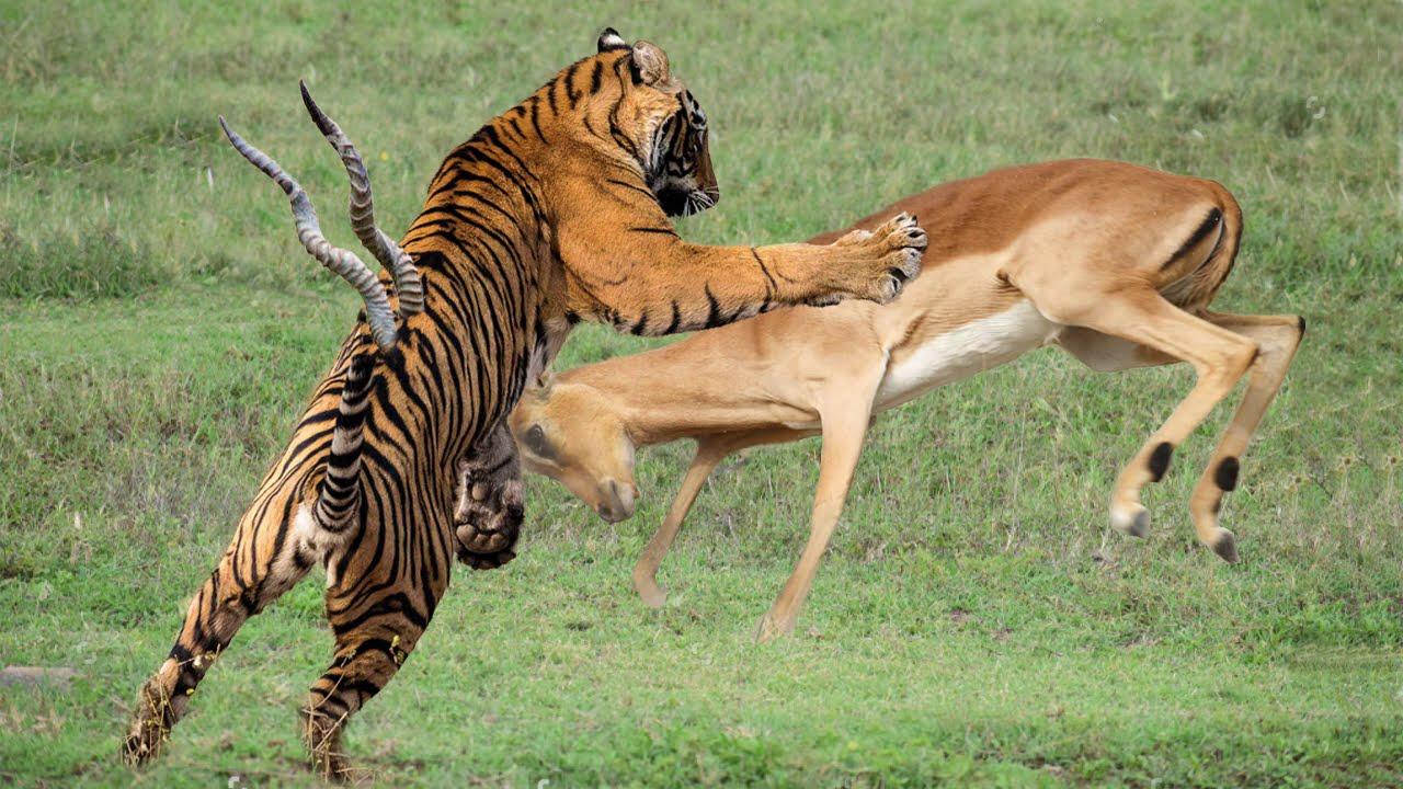 Impala Horns Too Scary! Tiger Ambush Impala And The Unexpected - Buffalo, Warthog Fight Back Tiger