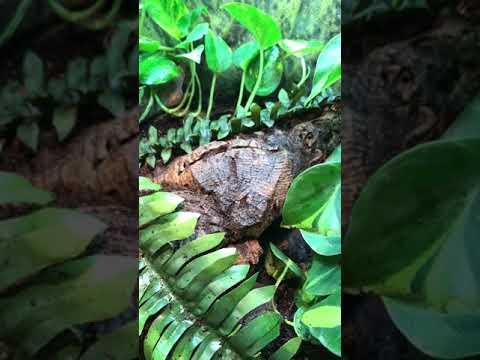 SILFS. Solomon Island Leaf Frog egg collection tip