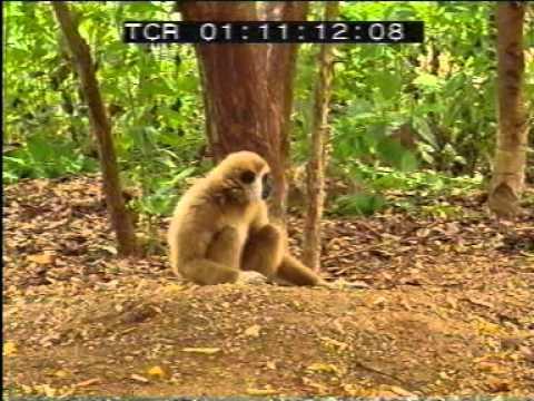 Monkey vs. Tiger Fight - YouTube