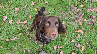 Chewy the Cocker Spaniel - 4 Weeks Residential Dog Training