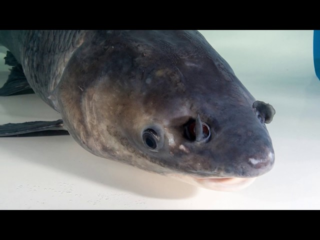 Types of Asian Carp | Minute Updates | Great Lakes Now