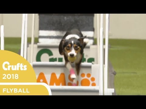 Flyball - Team Semi-Finals | Crufts 2018