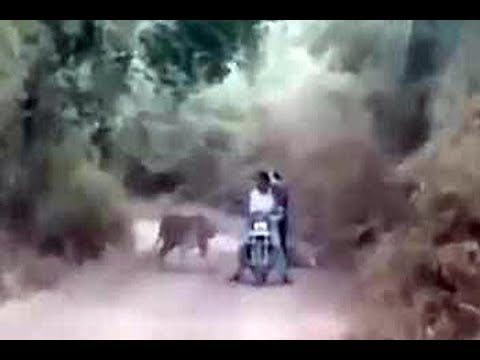 On cam: Bikers encounter with tigers, what happens next will SHOCK you