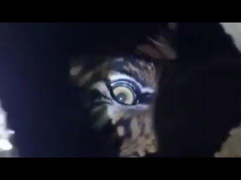 Harimau Terjebak di Dalam Ruko, BBKSDA Riau Lakukan Penyelamatan