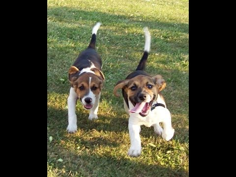 Beagle Puppy Pictures: Cutest breed