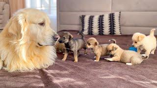 Adorable Golden Retriever Reaction to 5 Puppies!