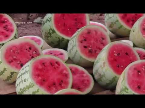 Чем полезны арбузы, их свойства, один из самых сильных афродизиаков. Химический состав.