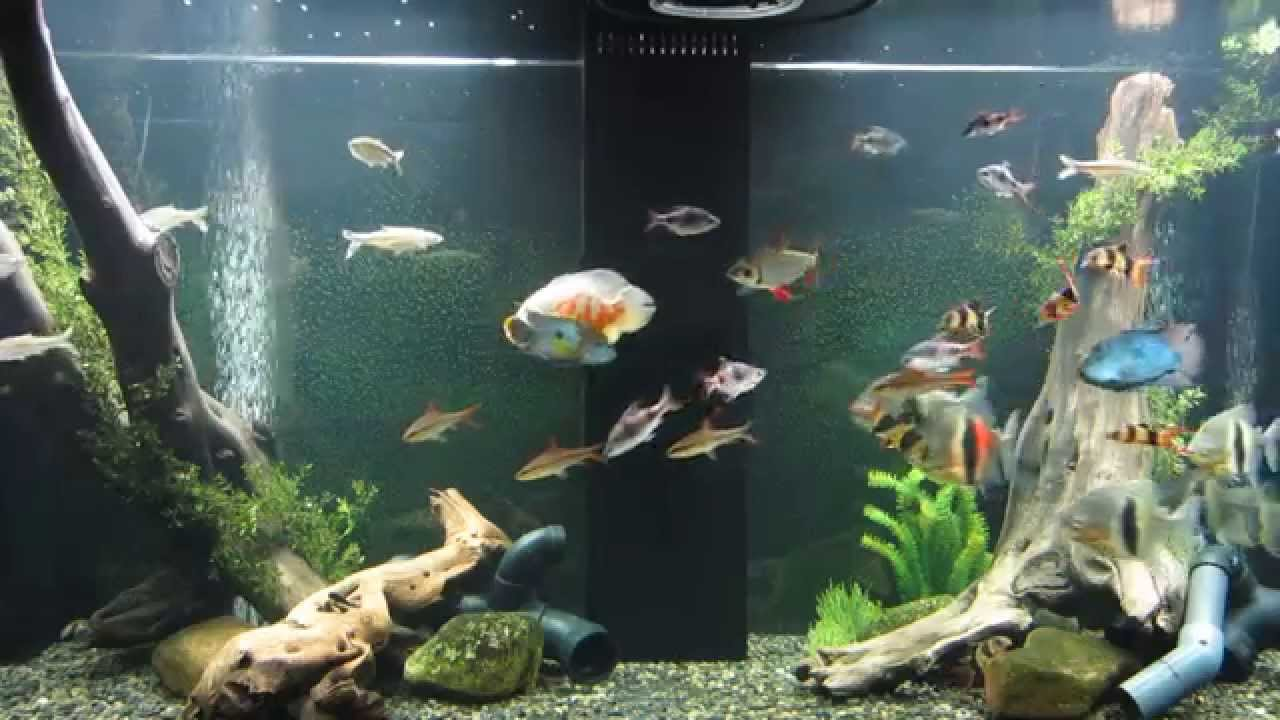 Freshwater Fish For Home Tanks