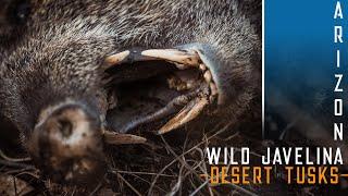 Gambar cover WILD JAVELINA hunt in Arizona -Desert Tusks-