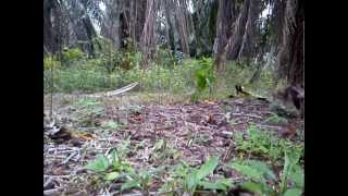 Video Ayam Hutan Pikat Betina 50 download MP3, 3GP, MP4, WEBM, AVI, FLV Juni 2018