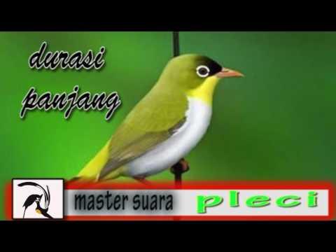 Masteran Mp3 Suara Burung Pleci Juara || Isian Juara cocok Untuk terapi - Durasi Panjang