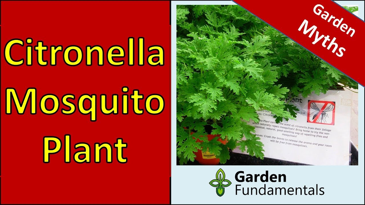 Does The Citronella Mosquito Plant Repel Mosquitoes Youtube
