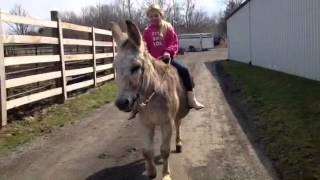 Rosco 55in. Mammoth donkey gelding 3/25/15